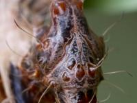 Стрельчатка Harrisimemna trisignata
