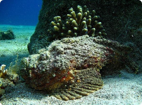 Рыба-камень, или бородавчатка (лат. Synanceia verrucosa)