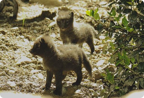 Детеныши песца из Mulhouse Zoo