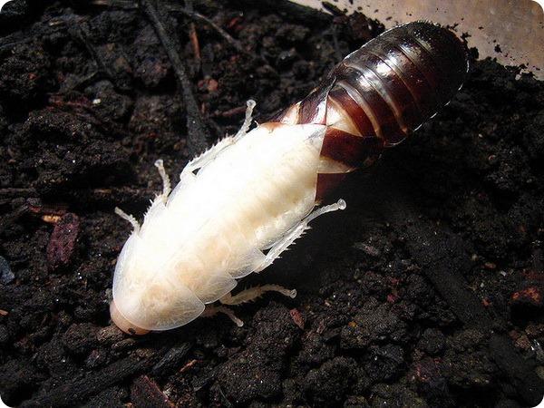 Мадагаскарские шипящие тараканы (лат. Gromphadorhina portentosa)