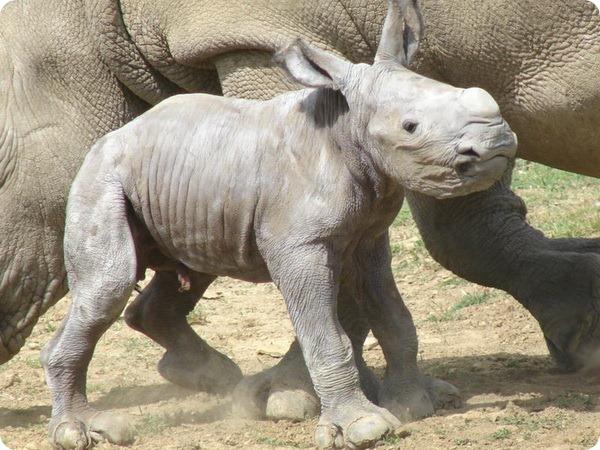 О детеныше белого носорога из Cotswold Wildlife Park