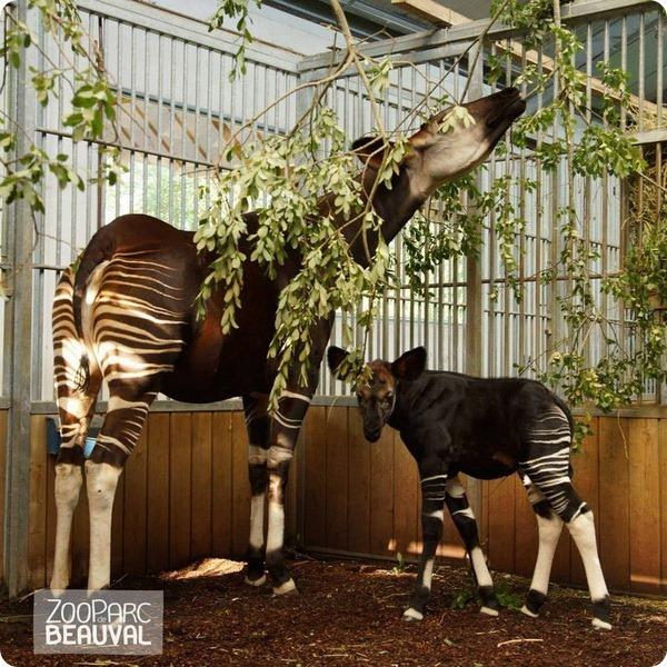В Beauval Zoo родился первый детеныш окапи