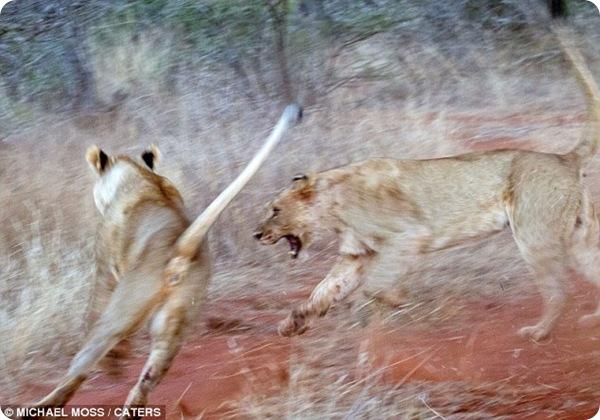 Яростная драка двух львиц