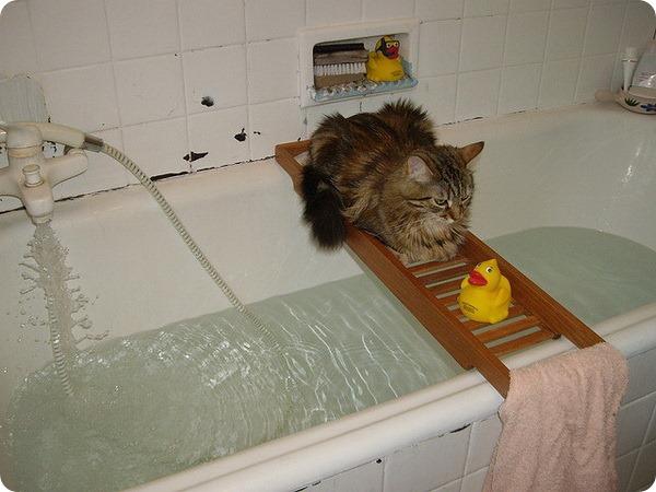 Нужно ли купать кошку?