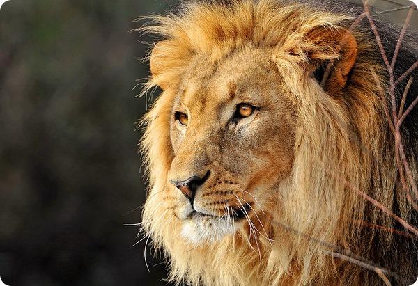 Лев (лат. Panthera leo)