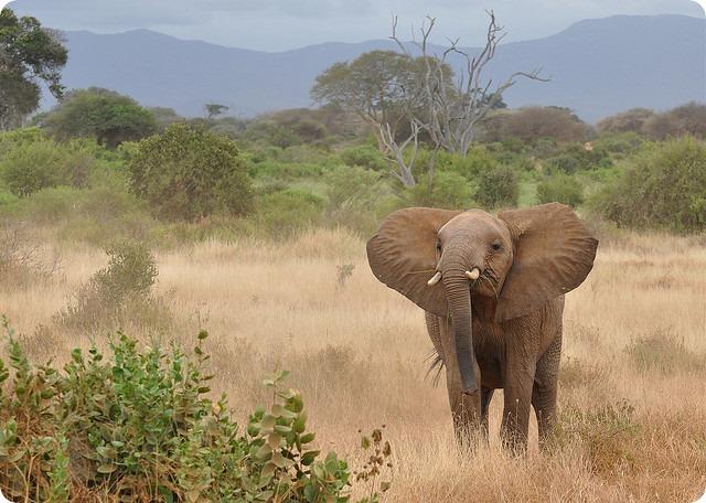 Саванный слон (лат. Loxodonta africana)