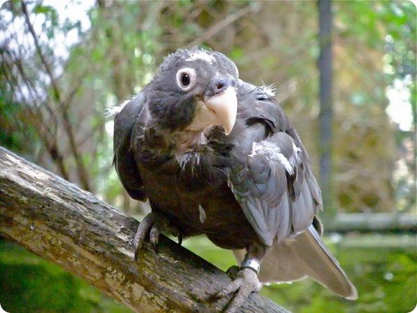 Большой попугай-ваза (лат. Coracopsis vasa)