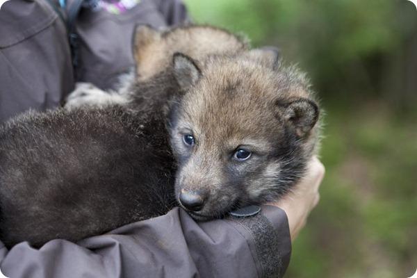 В зоопарке Норвегии родилось двое волчат