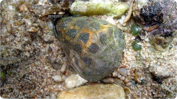 Улитка-конус (лат.Сonidae)