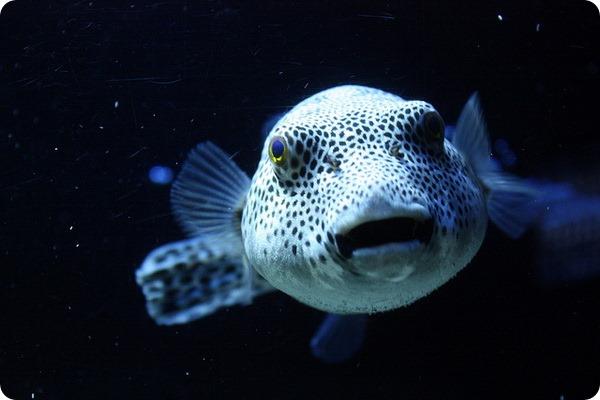 Рыба Фугу, или рыба-шар (лат. Takifugu rubripes)