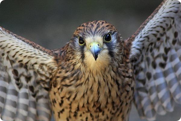 Сокол-сапсан (лат. Falco peregrinus)