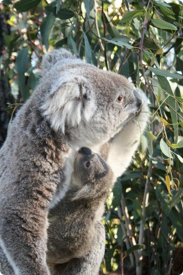 Зоопарк Таронга представил нового детеныша коалы
