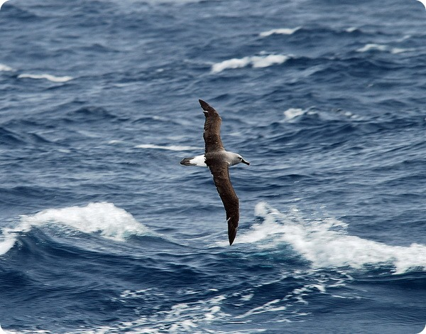 Сероголовый альбатрос (лат. Thalassarche chrysostoma)