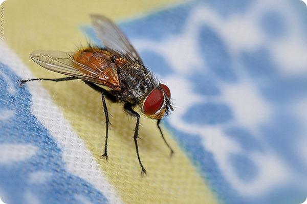 Комнатная муха (лат. Musca domestica)