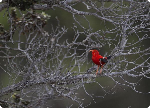 Черно-алая гавайская цветочница (лат. Vestiaria coccinea)