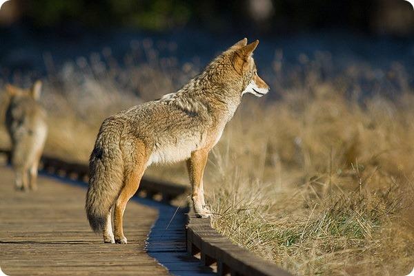 Койот (лат. Canis latrans)