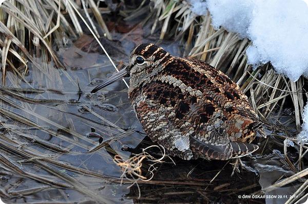 Вальдшнеп (лат. Scolopax rusticola)