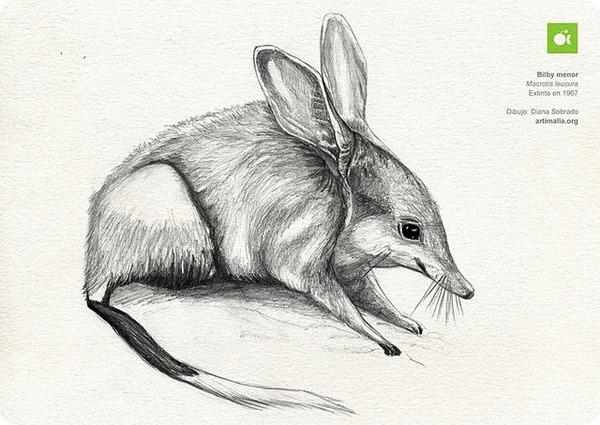 Малый кроличий бандикут (лат. Macrotis leucura)