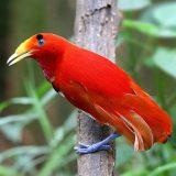 Королевская райская птица
