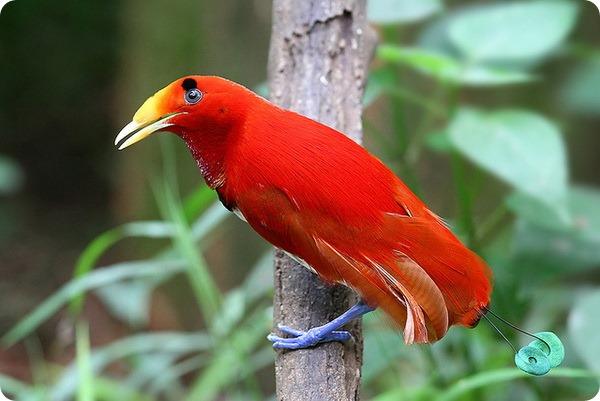 Королевская райская птица (лат. Cicinnurus regius)