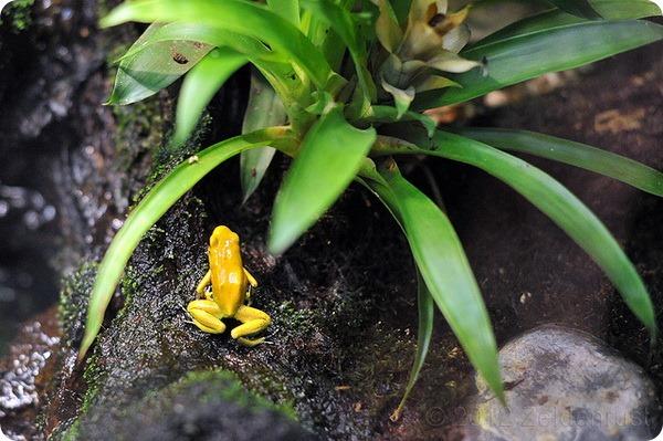 Ужасный листолаз (лат.Phyllobates terribilis)
