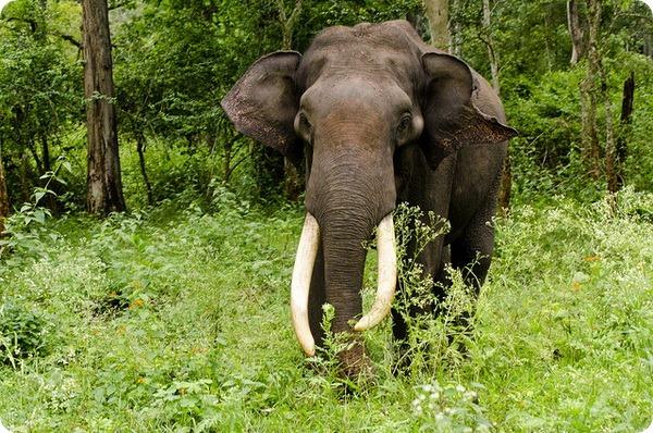 Индийский или азиатский слон (лат. Elephas maximus)