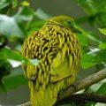 Золотой пестрый голубь