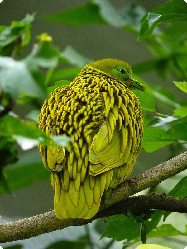 Золотой пестрый голубь (лат.Ptilinopus luteovirens)