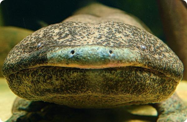 Китайская исполинская саламандра (лат. Andrias davidianus).