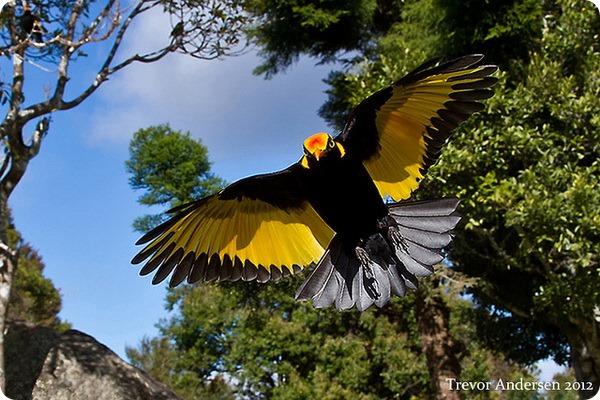 Австралийский золотой шалашник (лат. Sericulus chrysocephalus)