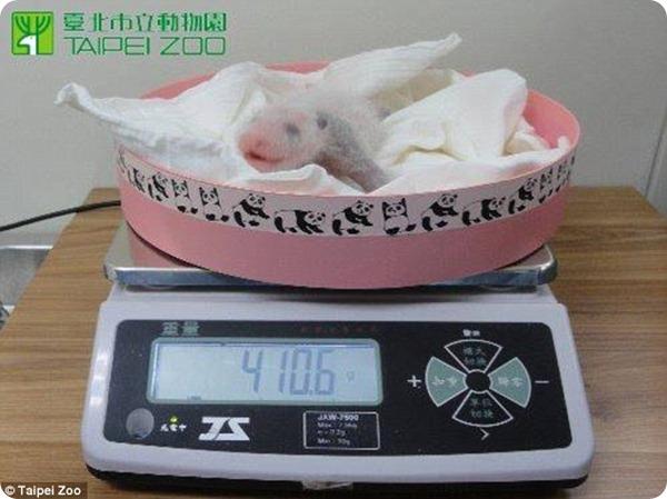 Гигантская панда Юань-Юань родила детеныша