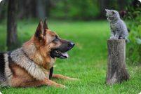Как подружить кошку и собаку?