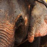 Индийский или азиатский слон