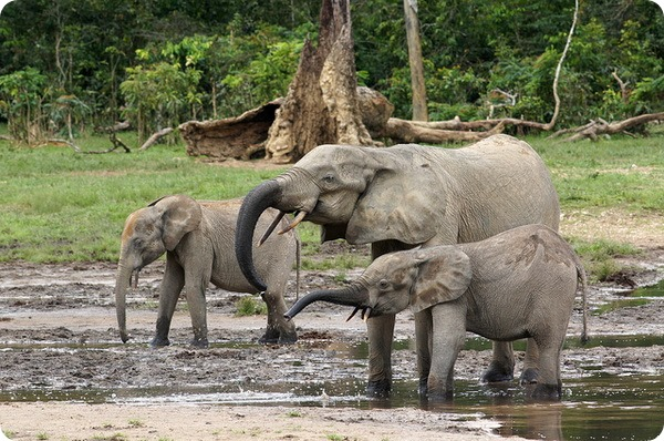 Лесной слон (лат. Loxodonta cyclotis)