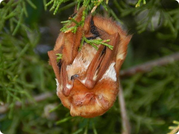 Красный волосатохвост (лат. Lasiurus borealis)