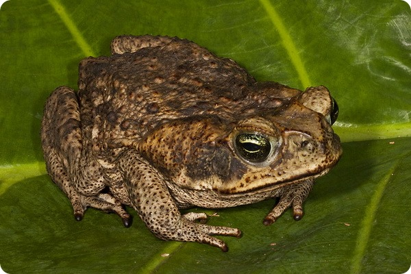 Тростниковая жаба, или ага (лат. Bufo marinus)