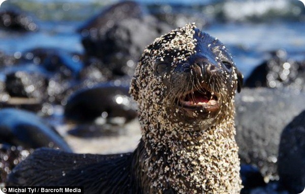 Детеныш морского льва принимает ванну из песка