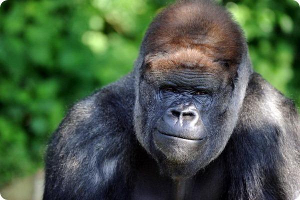 Самец гориллы Кибабу уходит на заслуженный отдых