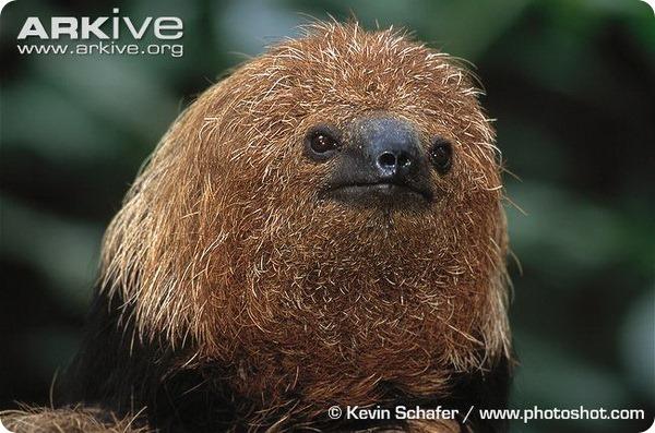 Ошейниковые ленивцы (лат. Bradypus torquatus)