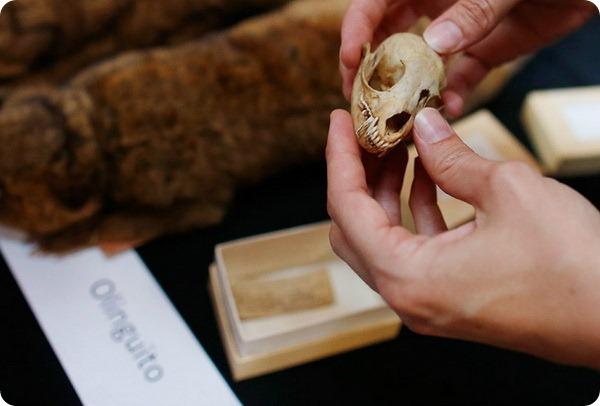Зверек олингито стал новым открытием ученых