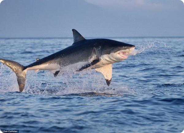 Охота белых акул на морских котиков