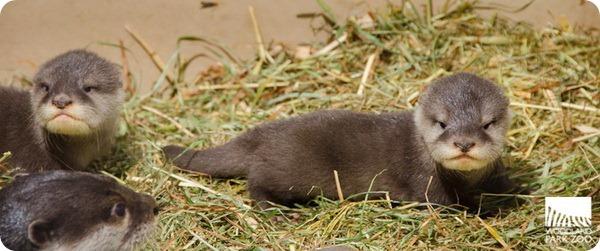 Woodland Park Zoo представил своих новых выдрят