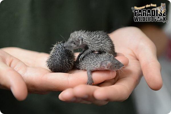 В зоопарке Британии родились детеныши тенрека