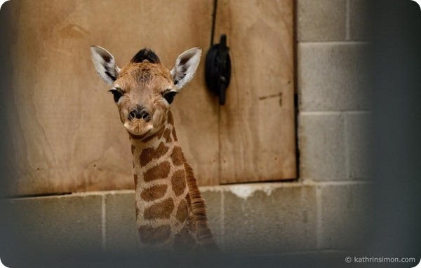 Жирафенок из зоопарка Окленда