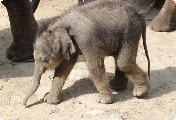 Детеныш азиатского слона из зоопарка Emmen Zoo