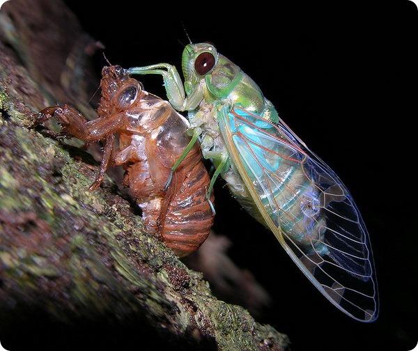 Цикады (лат. Cicadidae)