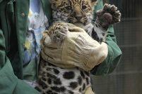 Детеныш ягуара из зоопарка Krefeld Zoo