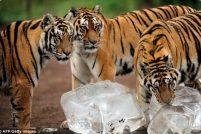 Амурских тигров угостили льдом