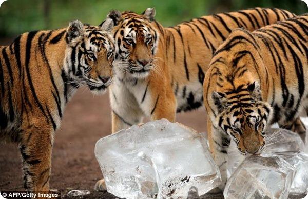 Амурских тигров из парка Гуайпо угостили льдом