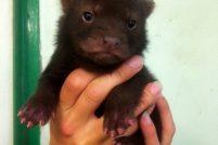 Щенки кустарниковой собаки из зоопарка Швеции